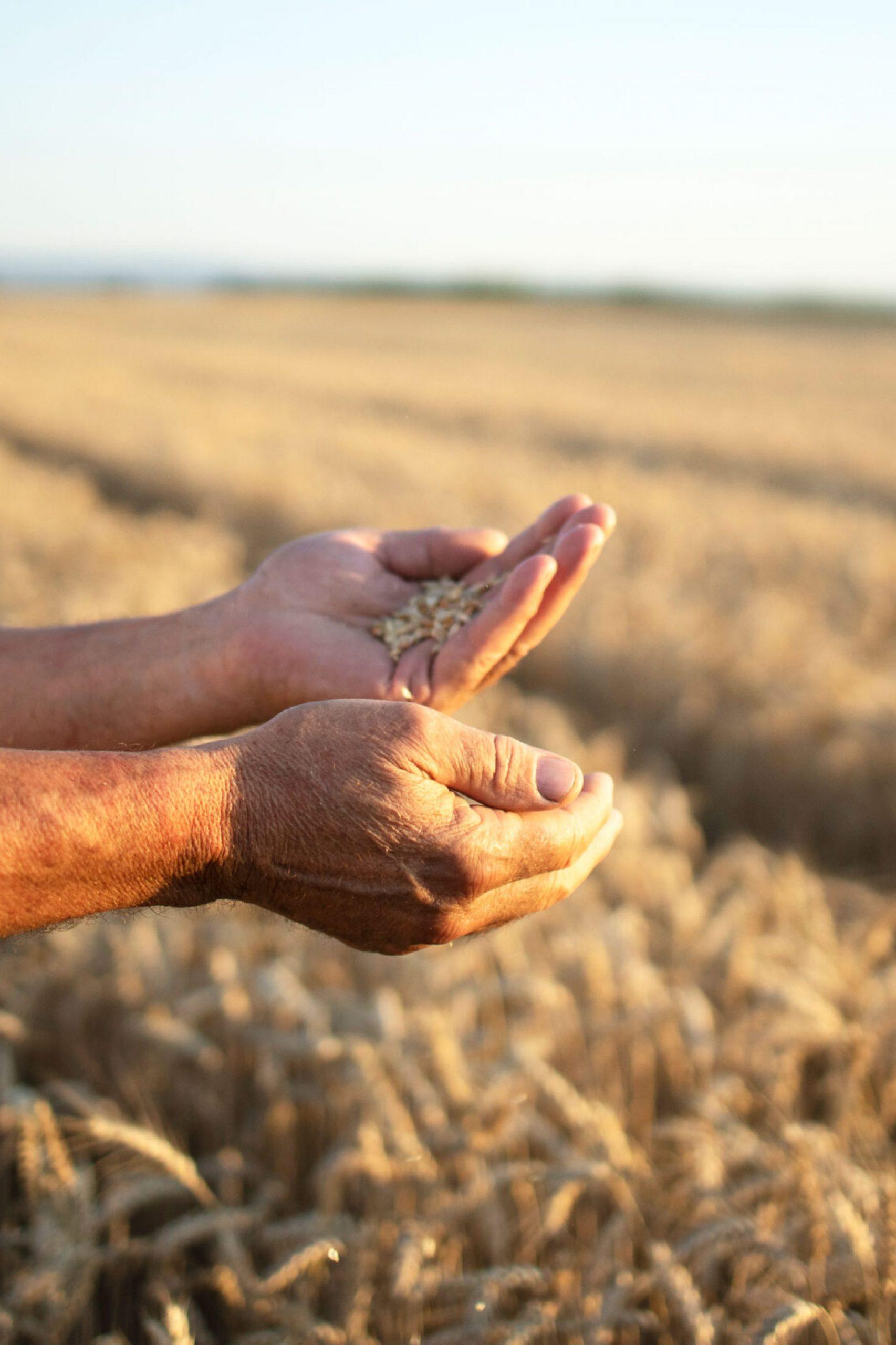 farmers-hands-wheat-crops-field